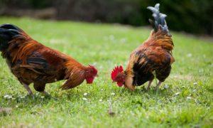 Sognare pollo: Significato e Interpretazione dei Sogni