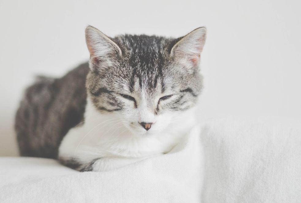 Sognare un gatto