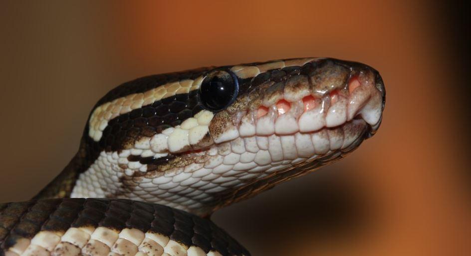 morso di serpente