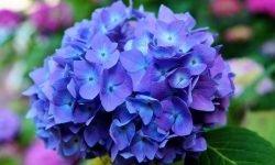 Ortensia: Significato dei fiori