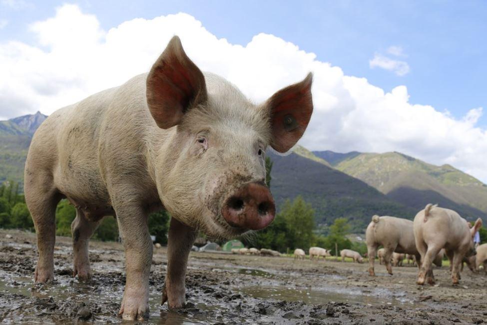 Sognare un maiale