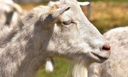 Sognare una capra: Significato e Interpretazione