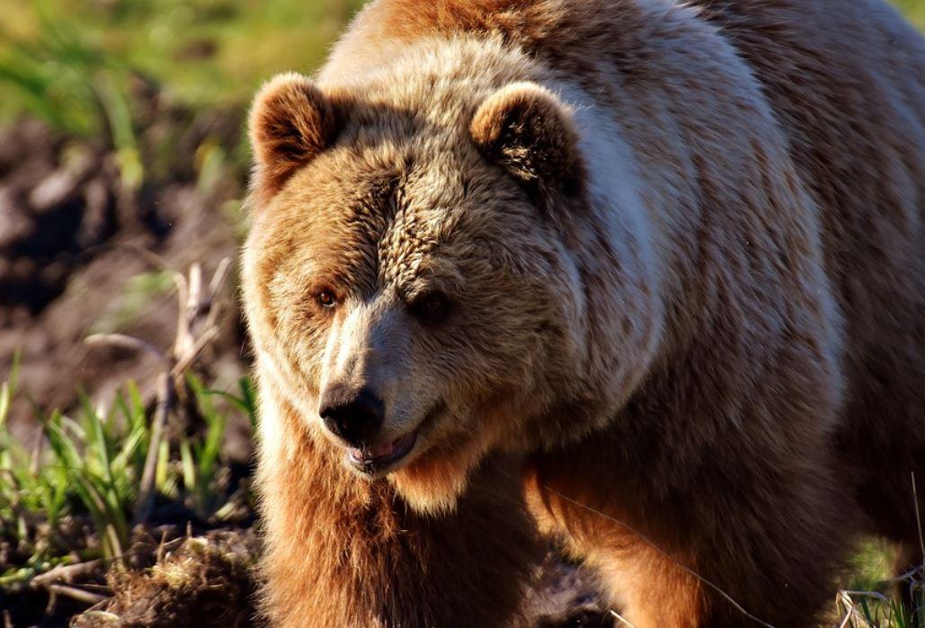 Sognare un orso